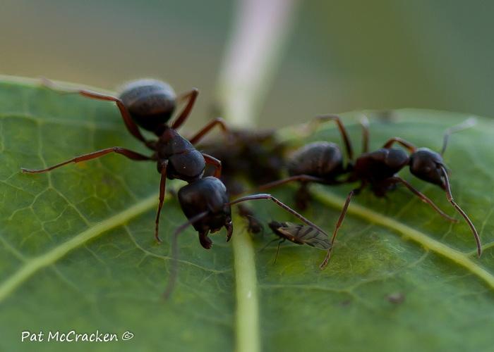 Black ant queen